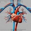 Modelo del sistema circulatorio / modelo anatómico / sistema circulatorio