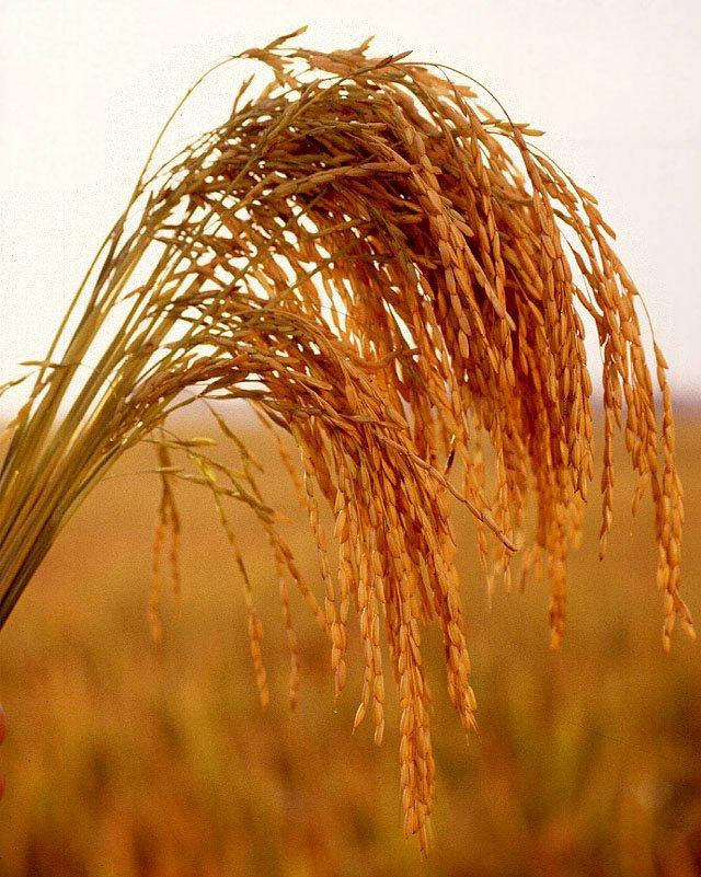 De grano: arroz, de trigo, de maíz, avena, la cebada, mijo, trigo ...