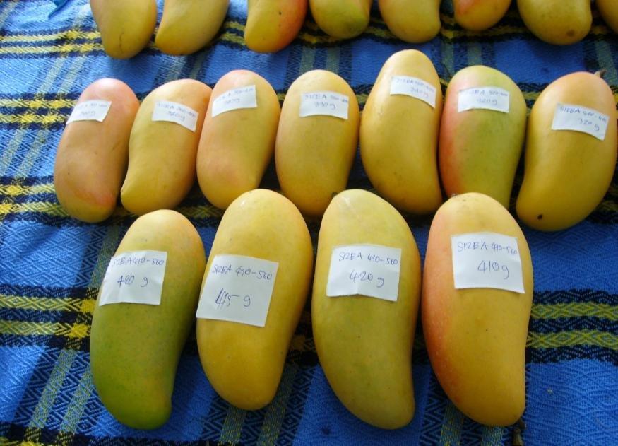 Mango - Maha Chanok