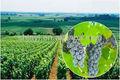 De piel de uva extracto, natural de color rojo colorante de alimentos