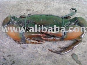 Karaka Mud Crab