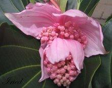 MEDINILLA MAGNIFICA 100 Fresh Seeds Kapa-Kapa Plant Rare