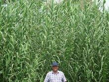 Biomass Plantations