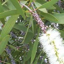 Niaouli Viridiflorol +7% (Melaleuca quinquenervia)
