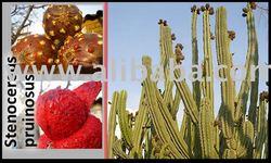 Cactus Seeds ( Stenocereus pruinosus )