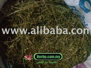 Phyllanthus niruri - dukung anak