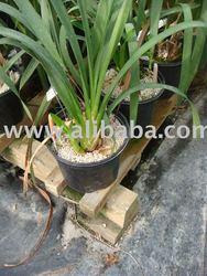 Horticultural Pumice