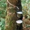 Natural Rubber, Latex 60% Drc