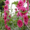 2013 New season Marshmallow flower