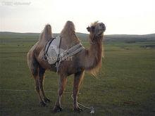 Animatronic walking animal Camel