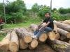 Gmelina Round Logs