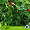 Pass to FDA algae/chuka wakame seaweed top quality