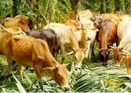 lembu untuk dijual