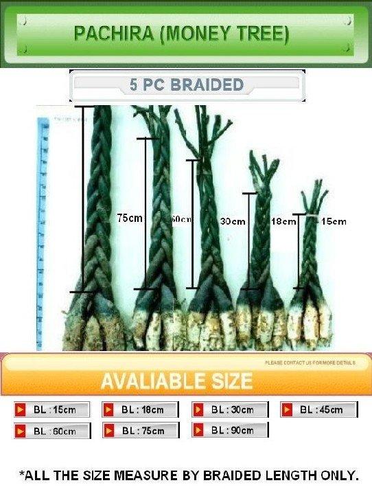 Pachir ( árbol del dinero ) terminado planta