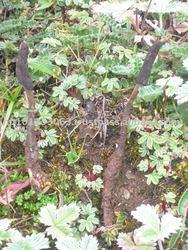 Cordyceps Sinensis Hong Kong