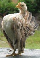 Pet Chicken