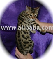 bengal cat and kittens