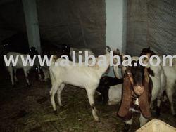 Kamori goats for Qurbani season