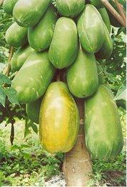 De semillas de Papaya