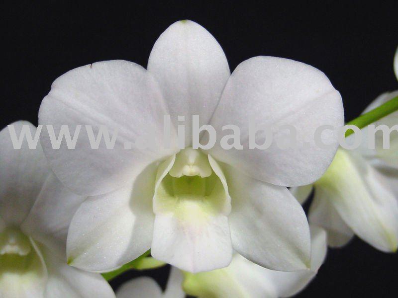 White Dendrobium Orchid Plant Quot White Quot Orchid Plant