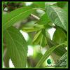1% Corosolic Acid Banaba Extract (Lagerstroemia speciosa)