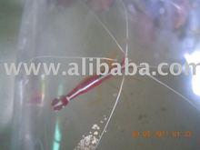 Orange Skunk Shrimp - Lysmata Amboinensis