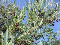 Original Kalamata's Olive