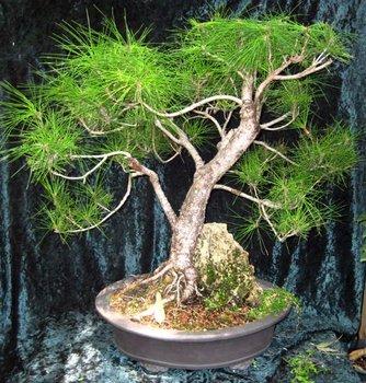 Bonsai Black Pine