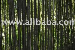 Dendrocalamus strictus black bamboo