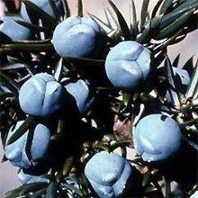 Juniper Berry Oil Pure