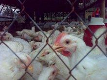Ayam Hidup - Live Chicken