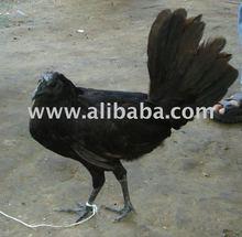 Ayam Cemani, Cemani Chiken, Ayam Selasih