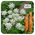 Angelica Extract/Dong Quai