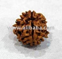 ek mukhi rudraksha gol dana indonesian round shape