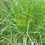 Natural Palmarosa Oil