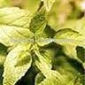 Calea zacatechichi - Dream Herb