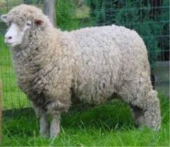 LIVE MERINO SHEEP