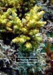 Cultured Coral
