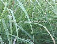 Distiller of Lemongrass Oil