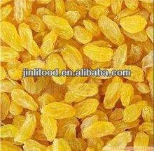 new crop Golden Raisin dried high quality raisin importer