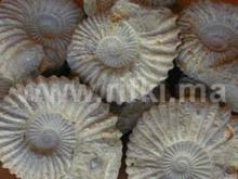 Naturales amonitas