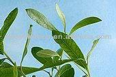 Pure Natural Polyphenols 25% Yerba Mate Powder