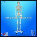 separado de esqueleto humano modelo