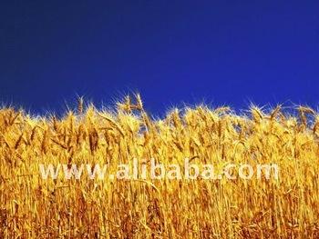 Russian wheat ( all classes ) FOB 12, 5 -13% protein = 250$ per MT