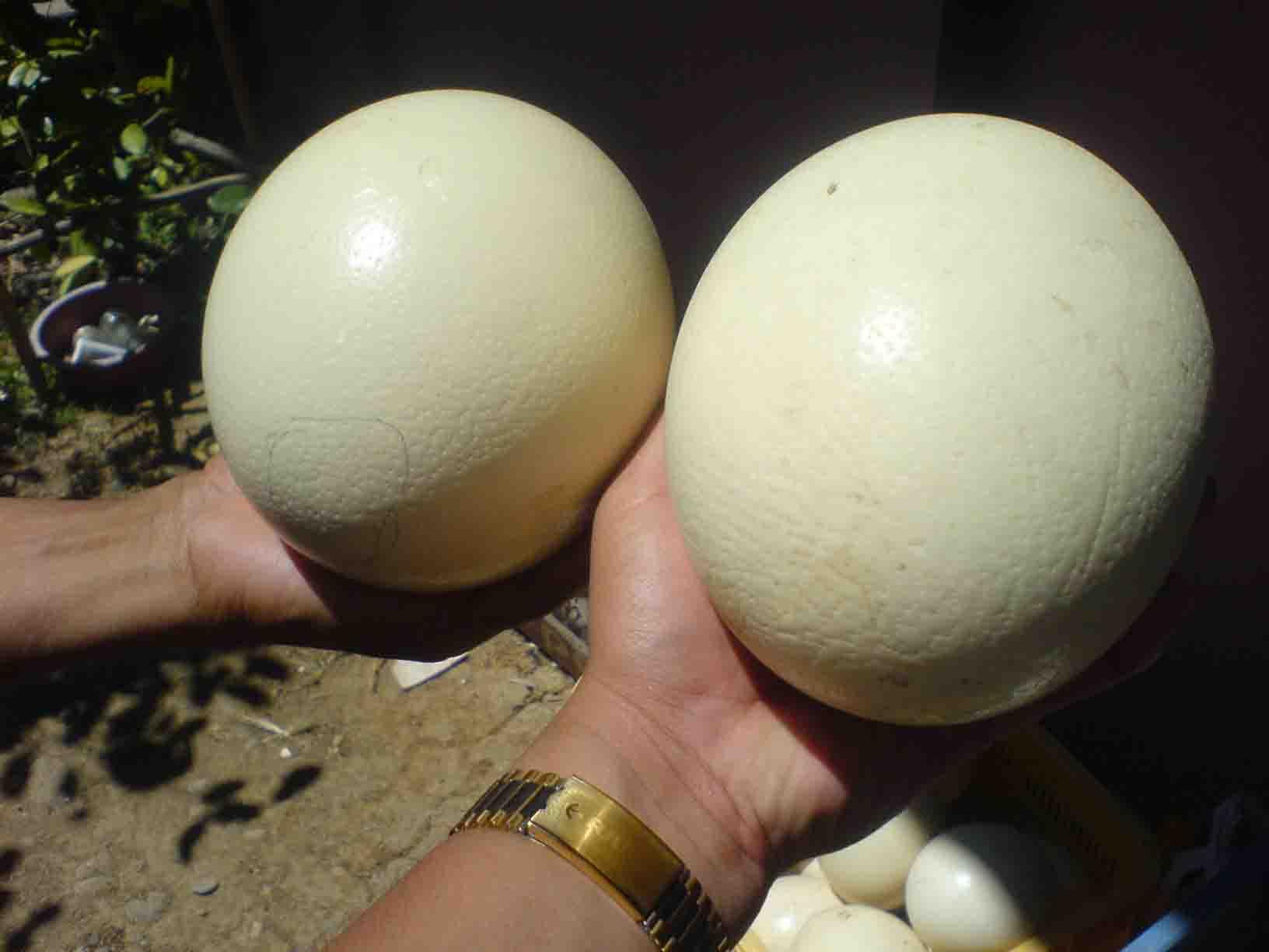 Kiwi egg vs ostrich egg - photo#28