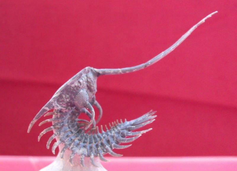 Grado A Natural Trilobites de marruecos