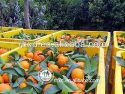 sweet Best citrus fruit baby mandarin orange Tangerine farm manufacturer factory