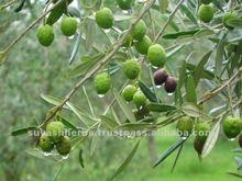 Wholesale Olive Oil