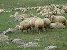Sheep from Georgia, Tushi breed
