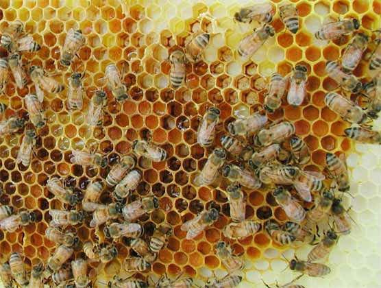 Certified Organic Beeswax